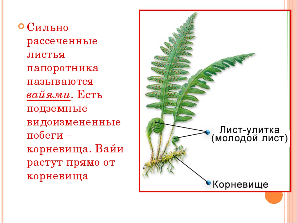 Сильно рассеченные листья папоротника называются вайями. Есть подземные видои...