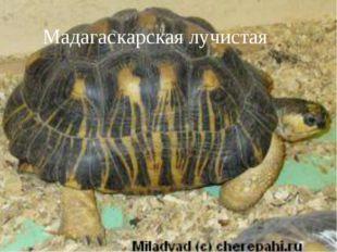 Мадагаскарская лучистая