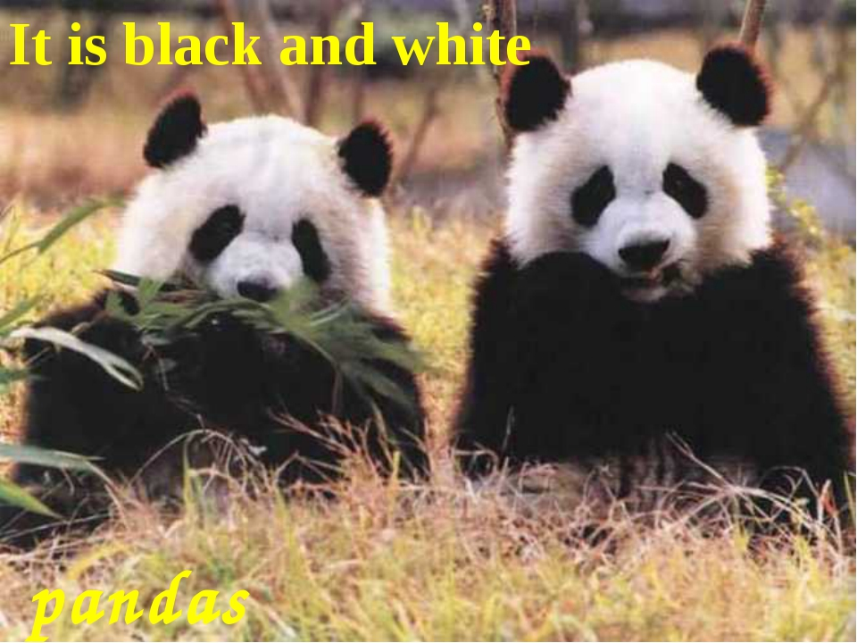 It is black and white pandas