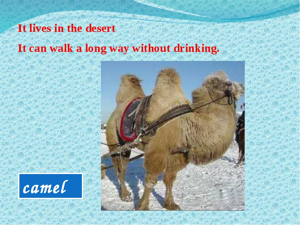 It lives in the desert It can walk a long way without drinking. camel