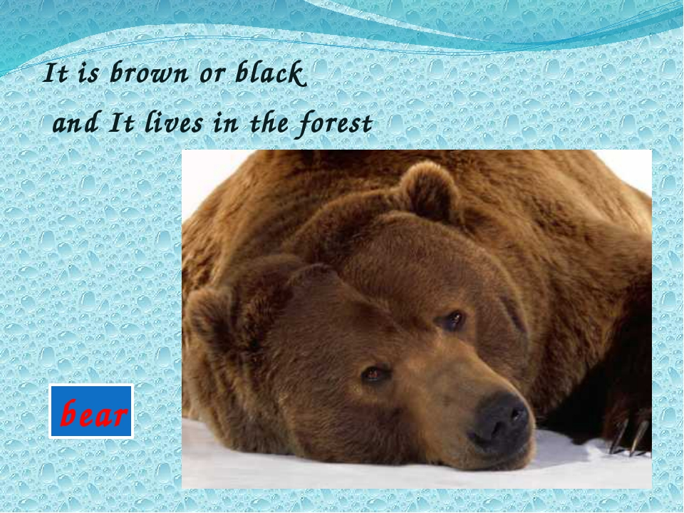 It is brown or black and It lives in the forest bear