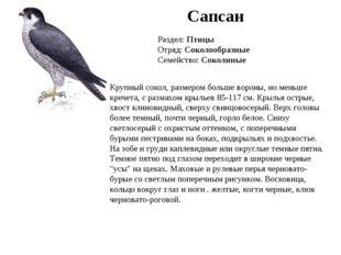 Сапсан Раздел: Птицы Отряд: Соколообразные Семейство: Соколиные Крупный сокол