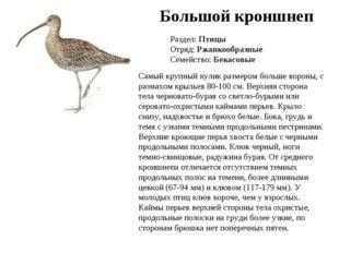Большой кроншнеп Раздел: Птицы Отряд: Ржанкообразные Семейство: Бекасовые Сам