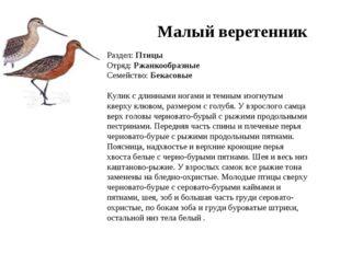 Малый веретенник Раздел: Птицы Отряд: Ржанкообразные Семейство: Бекасовые Кул