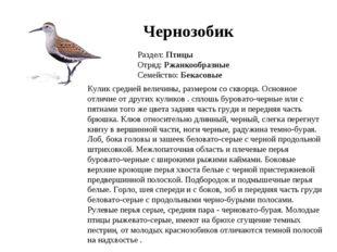Чернозобик Раздел: Птицы Отряд: Ржанкообразные Семейство: Бекасовые Кулик сре