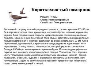 Короткохвостый поморник Раздел: Птицы Отряд: Ржанкообразные Семейство: Поморн
