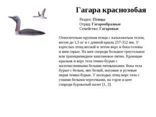 Гагара краснозобая Раздел: Птицы Отряд: Гагарообразные Семейство: Гагаровые О