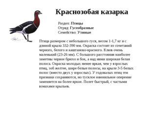 Краснозобая казарка Раздел: Птицы Отряд: Гусеобразные Семейство: Утиные Птица