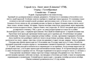 Серый гусь Anser anser (Linnaeus? 1758). Отряд – Гусеобразные Семейство - Ут