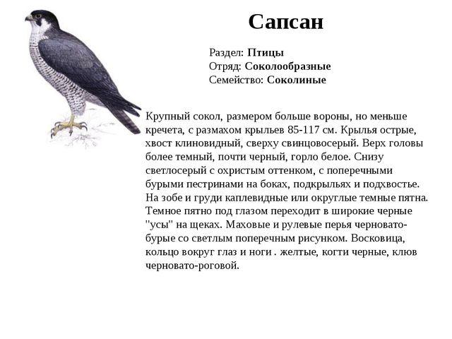 Сапсан Раздел: Птицы Отряд: Соколообразные Семейство: Соколиные Крупный сокол...