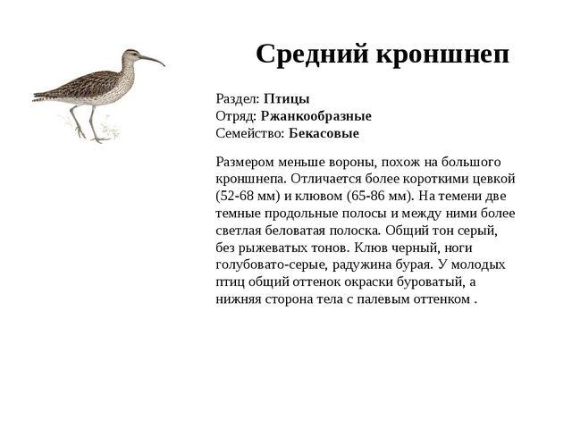 Раздел: Птицы Отряд: Ржанкообразные Семейство: Бекасовые Размером меньше воро...
