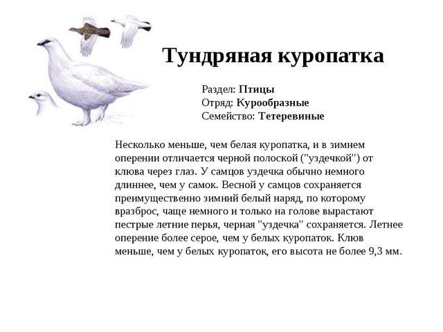 Тундряная куропатка Раздел: Птицы Отряд: Курообразные Семейство: Тетеревиные...