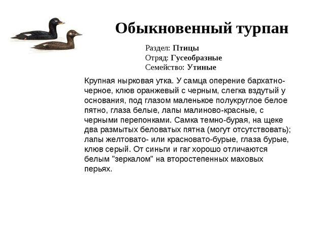 Обыкновенный турпан Раздел: Птицы Отряд: Гусеобразные Семейство: Утиные Крупн...