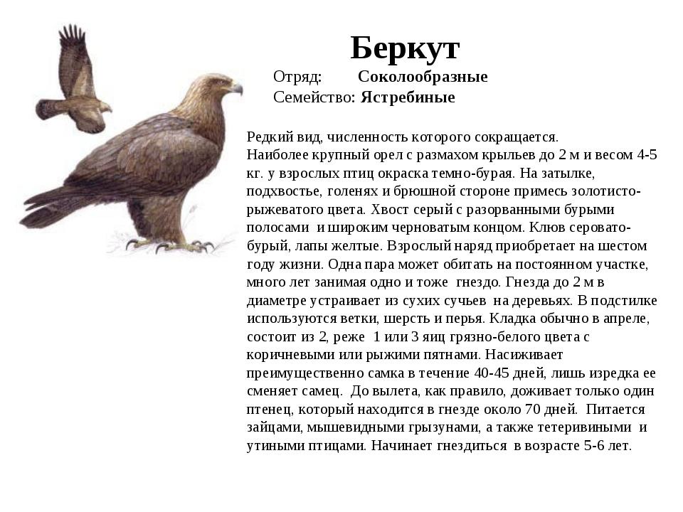 птица беркут фото и описание присутствии