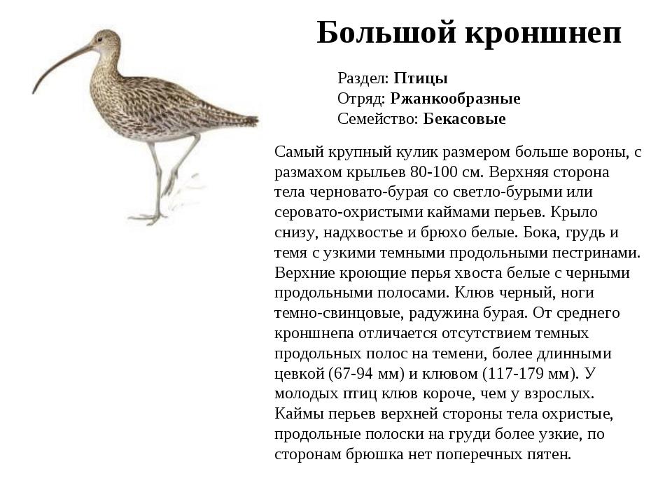 Большой кроншнеп Раздел: Птицы Отряд: Ржанкообразные Семейство: Бекасовые Сам...