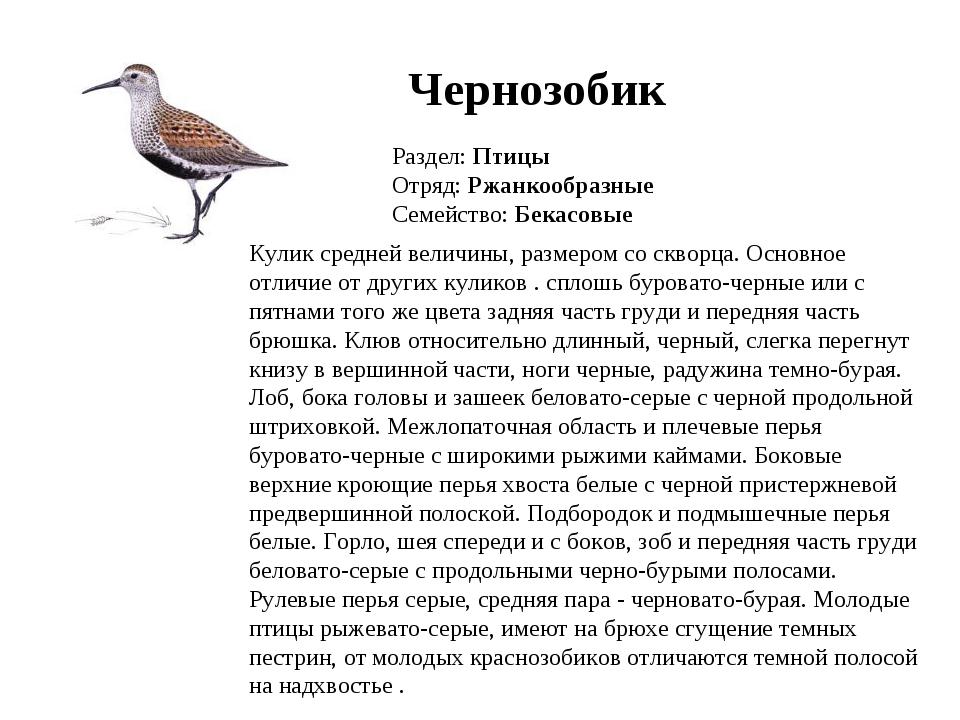 Чернозобик Раздел: Птицы Отряд: Ржанкообразные Семейство: Бекасовые Кулик сре...