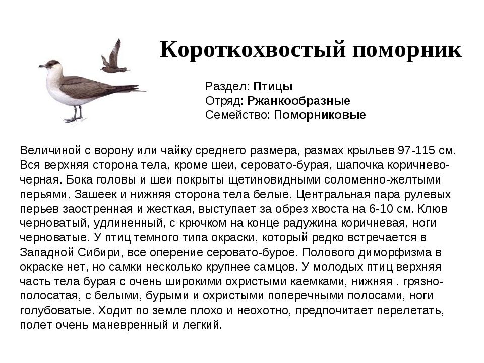 Короткохвостый поморник Раздел: Птицы Отряд: Ржанкообразные Семейство: Поморн...