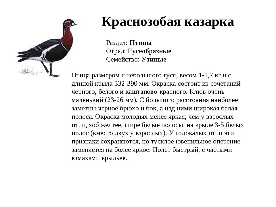 Краснозобая казарка Раздел: Птицы Отряд: Гусеобразные Семейство: Утиные Птица...