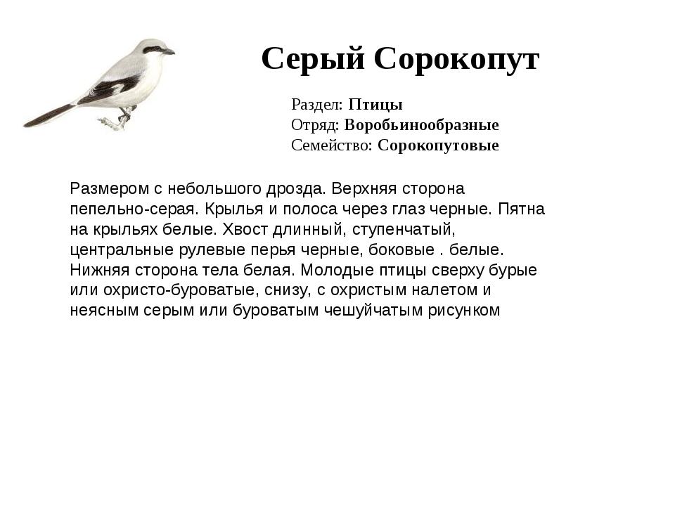 Серый Сорокопут Раздел: Птицы Отряд: Воробьинообразные Семейство: Сорокопутов...
