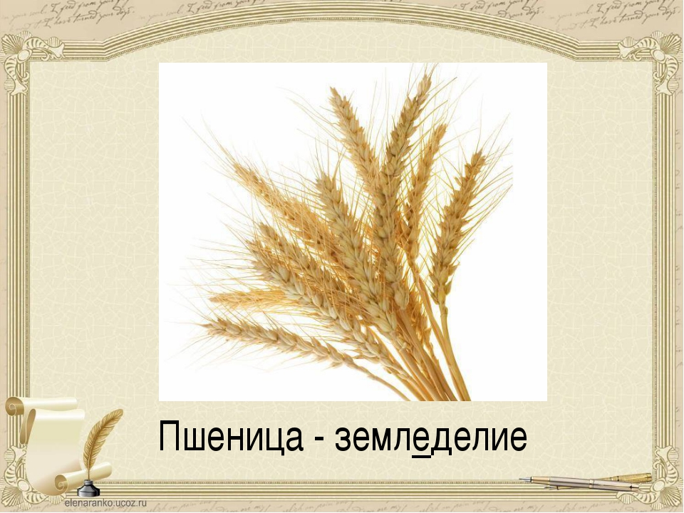 Пшеница - земледелие
