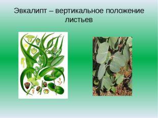 Эвкалипт – вертикальное положение листьев