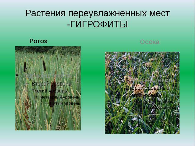 Растения переувлажненных мест -ГИГРОФИТЫ Рогоз Осока
