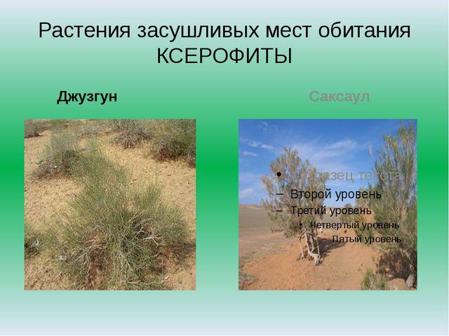 Растения засушливых мест обитания КСЕРОФИТЫ Джузгун Саксаул