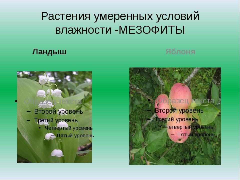Растения умеренных условий влажности -МЕЗОФИТЫ Ландыш Яблоня