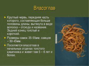 Власоглав Круглый червь, передняя часть которого, составляющая больше половин