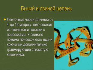 Бычий и свиной цепень Ленточные черви длинной от 4 до 12 метров, тело состоит
