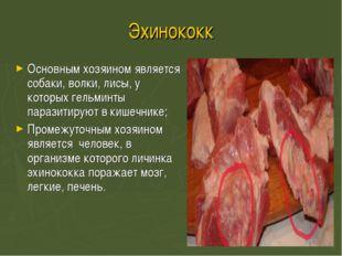 Эхинококк Основным хозяином является собаки, волки, лисы, у которых гельминты