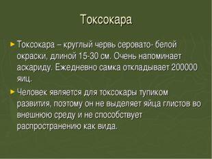 Токсокара Токсокара – круглый червь серовато- белой окраски, длиной 15-30 см.