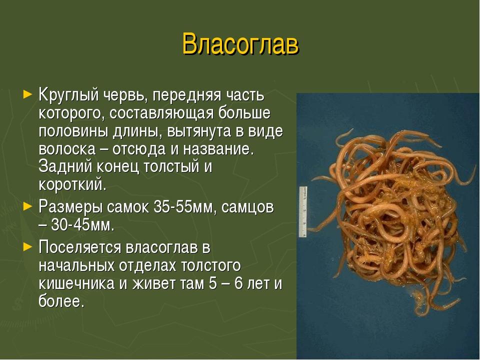 Власоглав Круглый червь, передняя часть которого, составляющая больше половин...