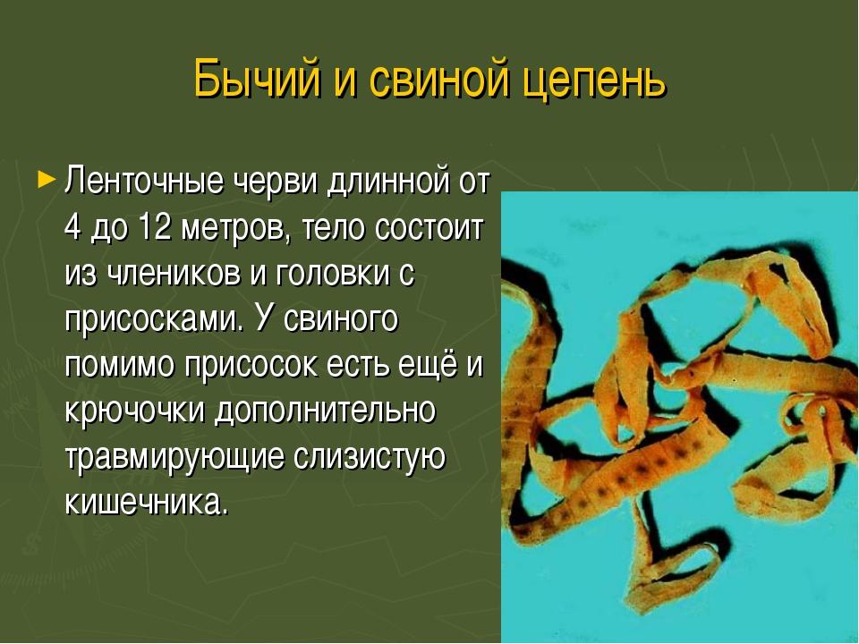 Бычий и свиной цепень Ленточные черви длинной от 4 до 12 метров, тело состоит...