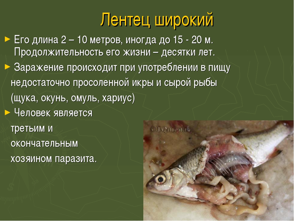 Лентец широкий Его длина 2 – 10 метров, иногда до 15 - 20 м. Продолжительност...