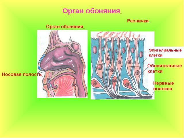Орган обоняния Носовая полость Реснички Обонятельные клетки Эпителиальные кле...