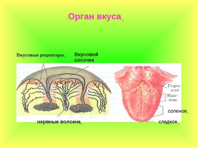Орган вкуса Вкусовые рецепторы соленое сладкое нервные волокна Вкусовой сосочек