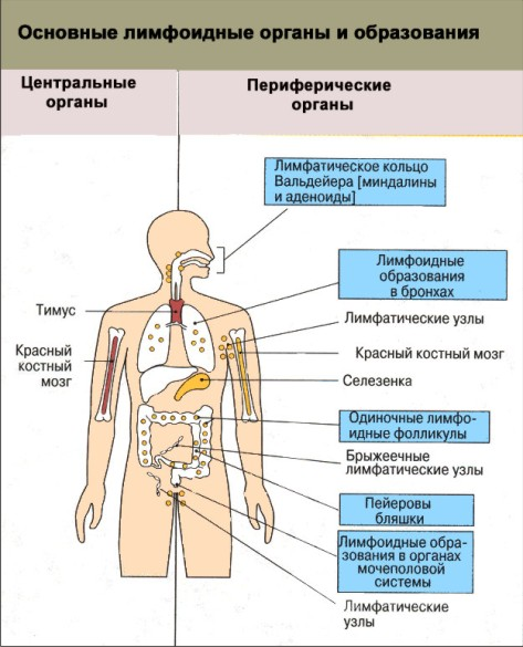 http://kovalsergey.ru/wp-content/uploads/2011/10/limfoidnyie-organyi.jpg