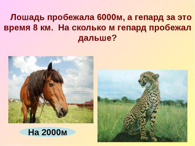 Лошадь пробежала 6000м, а гепард за это время 8 км. На сколько м гепард проб...