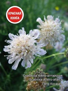 Скабиоза южно-алтайская