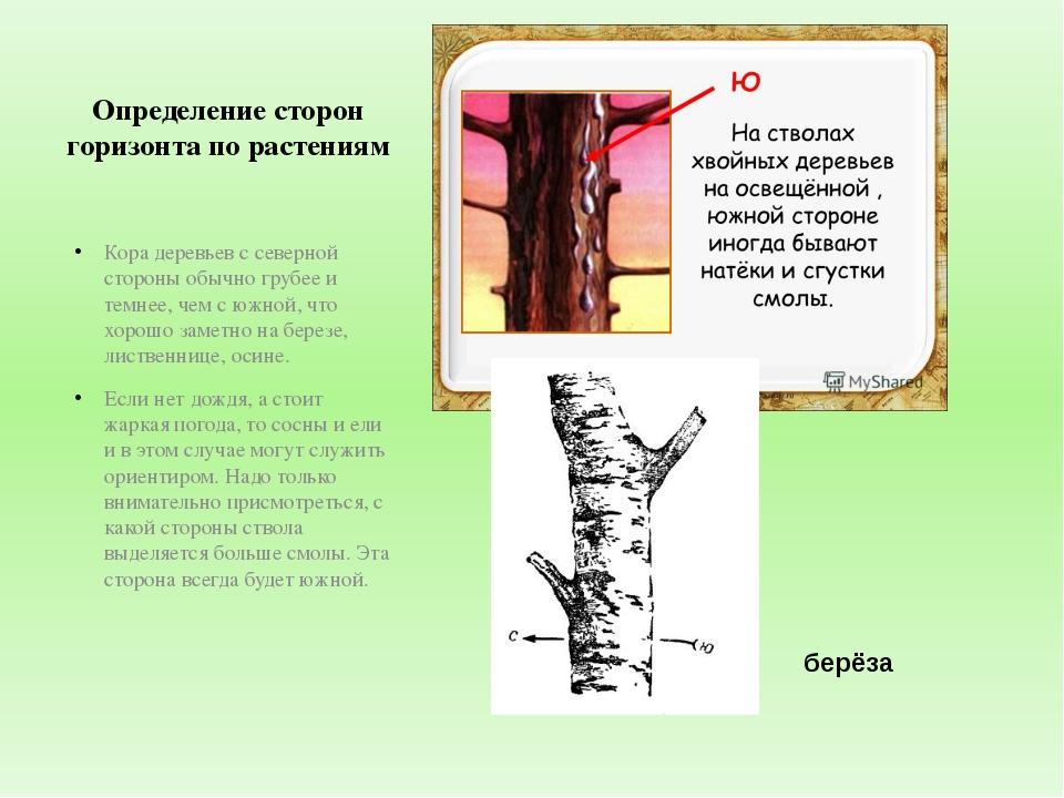 Определение сторон горизонта по растениям Кора деревьев с северной стороны об...