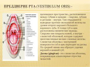 щелевидное пространство, расположенное между губами и щеками – снаружи, зубам