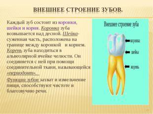 Каждый зуб состоит из коронки, шейки и корня. Коронка зуба возвышается над де