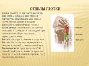 * Глотка делится на три части: носовую, pars nasalis, ротовую, pars oralis, и