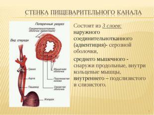 Состоит из 3 слоев: наружного соединительнотканного (адвентиция)- серозной об