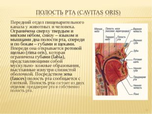 Передний отдел пищеварительного канала у животных и человека. Ограничена свер