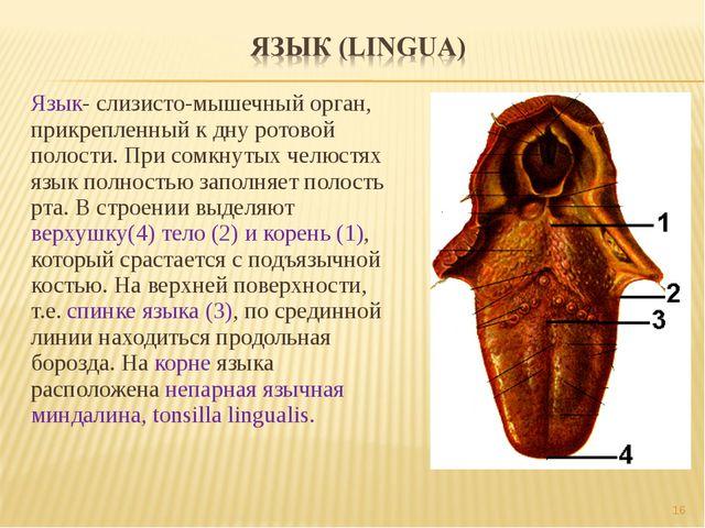 Язык- слизисто-мышечный орган, прикрепленный к дну ротовой полости. При сомкн...