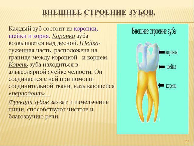 Каждый зуб состоит из коронки, шейки и корня. Коронка зуба возвышается над де...