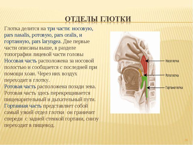 * Глотка делится на три части: носовую, pars nasalis, ротовую, pars oralis, и...