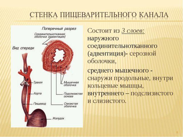 Состоит из 3 слоев: наружного соединительнотканного (адвентиция)- серозной об...